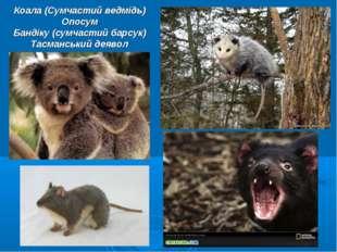 Коала (Сумчастий ведмідь) Опосум Бандіку (сумчастий барсук) Тасманський деявол