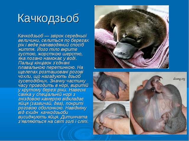 Качкодзьоб Качкодзьоб — звірок середньої величини, селиться по берегах рік і...
