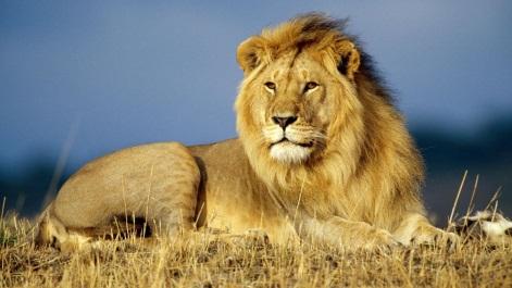 http://nikitafirst.com.ua/sites/default/files/african_lion_king.jpg