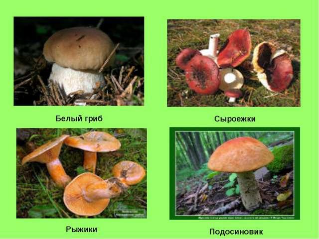 Белый гриб Сыроежки Рыжики Подосиновик