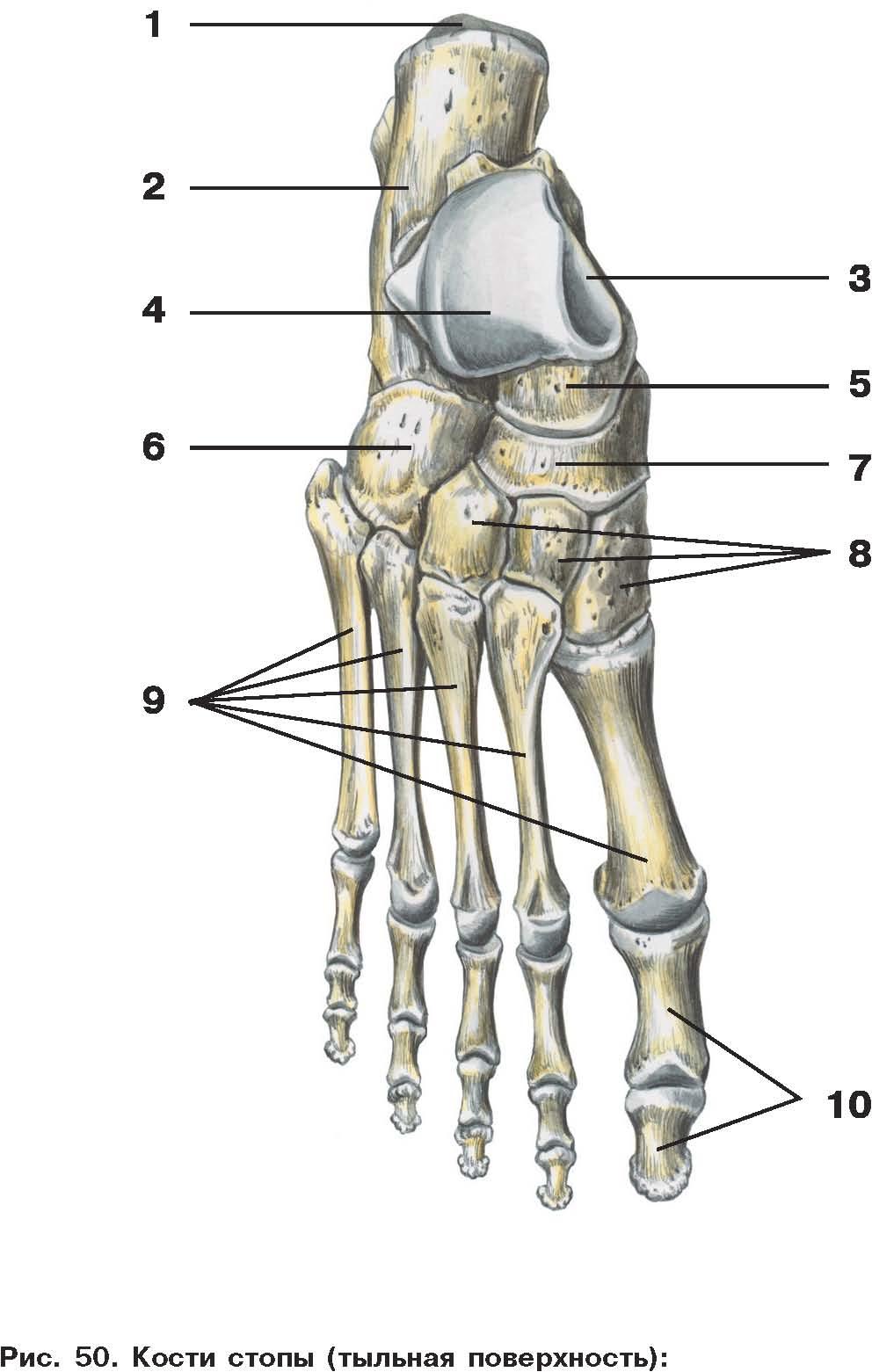 C:\Documents and Settings\Любовь\Мои документы\всё об анатомии\атласы\Атлас анатомии\image125.jpg