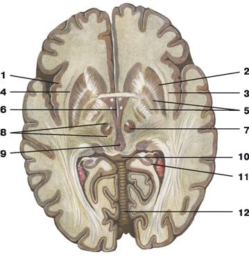 C:\Documents and Settings\Любовь\Мои документы\всё об анатомии\материал к лекциям\Атлас анатомии\image554.jpg