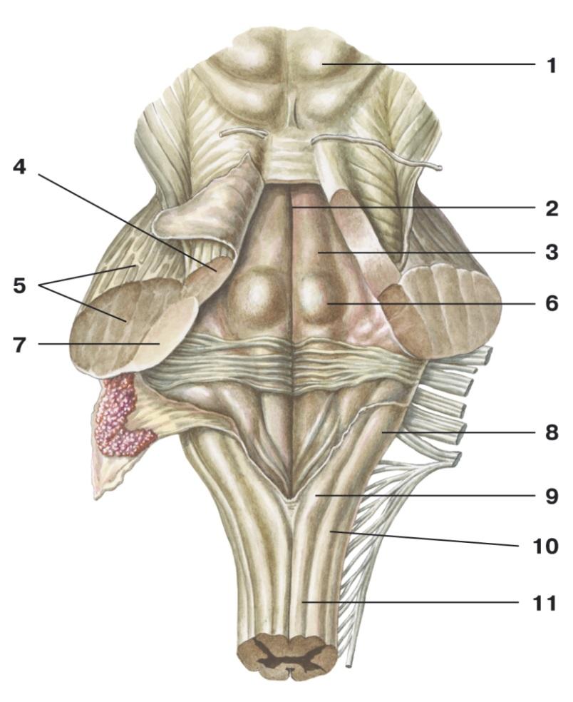 C:\Documents and Settings\Любовь\Мои документы\всё об анатомии\материал к лекциям\Атлас анатомии\image569.png