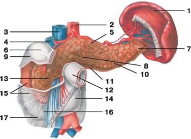 C:\Documents and Settings\Любовь\Мои документы\всё об анатомии\атласы\Атлас анатомии\image376.jpg