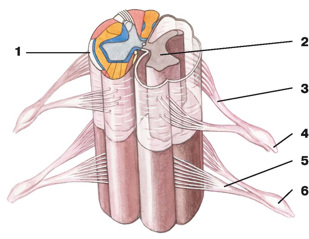 C:\Documents and Settings\Любовь\Мои документы\всё об анатомии\атласы\Атлас анатомии\image545.jpg