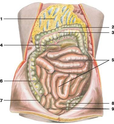 C:\Documents and Settings\Любовь\Мои документы\всё об анатомии\атласы\Атлас анатомии\image380.jpg
