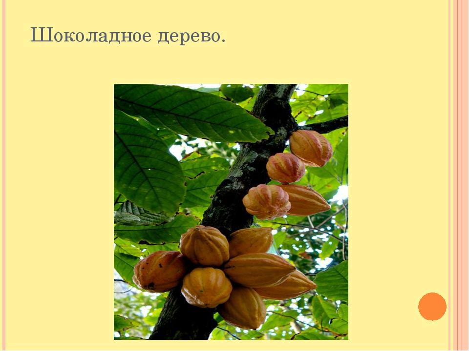 Шоколадное дерево. Что касается плодов дерева, но они могут расти и на самом...