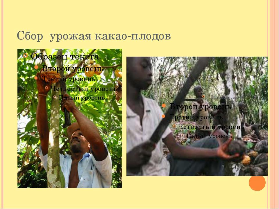 Сбор урожая какао-плодов