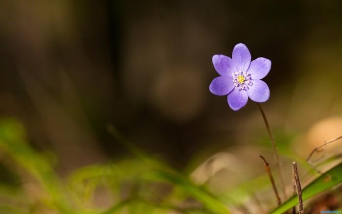 Скачать обои Фиалка, весна, лес - картинка #18498 c разрешением 1600x900