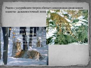 Рядом с уссурийским тигром обитает самая редкая среди кошек планеты- дальнево