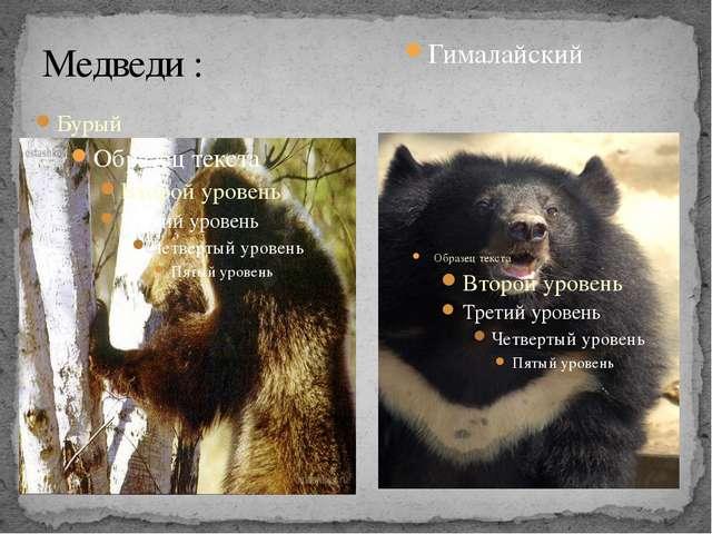Медведи : Бурый Гималайский
