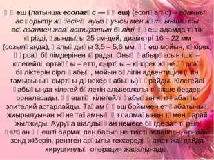 Өңеш (латынша есопагұс — өңеш) (есопһагұс) – адамның ас қорыту жүйесінің ауыз