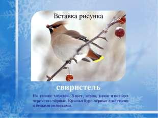 снегирь Снегирь крупнее воробья. Снегирь-самец— красногрудая птичка сголубо