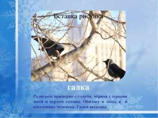 Не покидает зимний лес глухарь, сосновая хвоя — его основная еда. глухарь