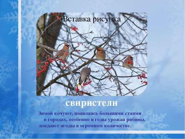 снегирь Снегирь охотно поедает семена репейника, конского щавеля, конопли, ле...