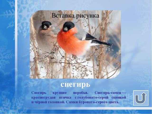 снегирь Очень любят эти птицы ягоды бузины, рябины и черёмухи.