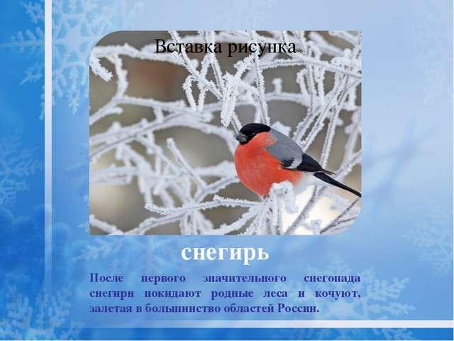 снегирь Семена подсолнечника – лучший корм для снегирей.