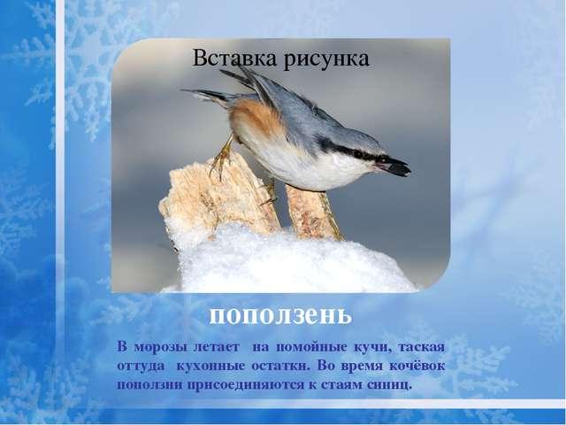 Живёт в хвойных и смешанных лесах. Клесты – кочующие птицы. В урожайные на ши...