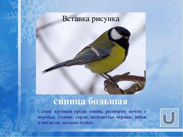 Летом синица уничтожает огромное количество насекомых. Зимой питается семенам...