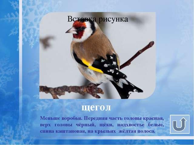 чиж Чиж - маленькая, меньше щегла, очень подвижная птичка. Оперение желтовато...