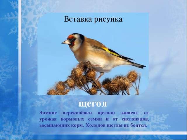 Осенью и зимой любимая пища чижа - семена берёзы и ольхи. Чижи кочуют зимой с...