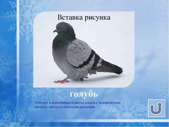 галка Размером примерно с голубя, чёрная с серыми шеей и верхом головы. Обита...