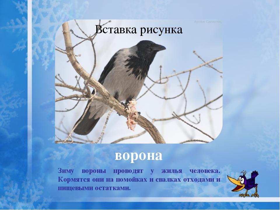 """дятел Зимой питается семенами хвойных деревьев. """"Кузницы"""" дятла — трухлявые с..."""