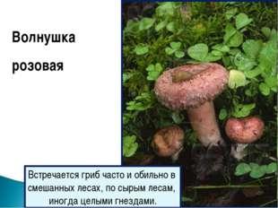 Волнушка розовая Встречается гриб часто и обильно в смешанных лесах, по сырым