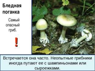Бледная поганка Самый опасный гриб. ! Встречается она часто. Неопытные грибни