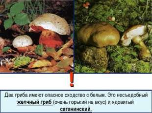 ! Два гриба имеют опасное сходство с белым. Это несъедобный желчный гриб (оче