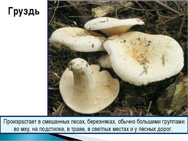 Груздь Произрастает в смешанных лесах, березняках, обычно большими группами в...