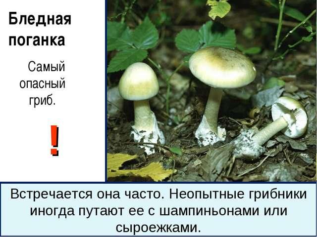 Бледная поганка Самый опасный гриб. ! Встречается она часто. Неопытные грибни...