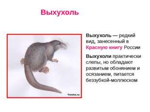 Выхухоль — редкий вид, занесенный в Красную книгу России Выхухоли практическ