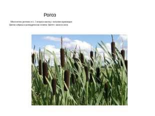 Рогоз Многолетнее растение от 1- 2 метров в высоту, с ползучим корневищем. Ц