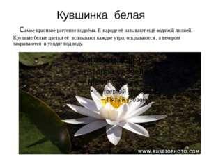 Кувшинка белая самое красивое растение водоёма. В народе её называют ещё вод