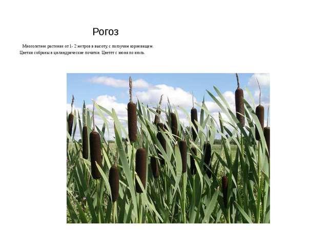 Рогоз Многолетнее растение от 1- 2 метров в высоту, с ползучим корневищем. Ц...