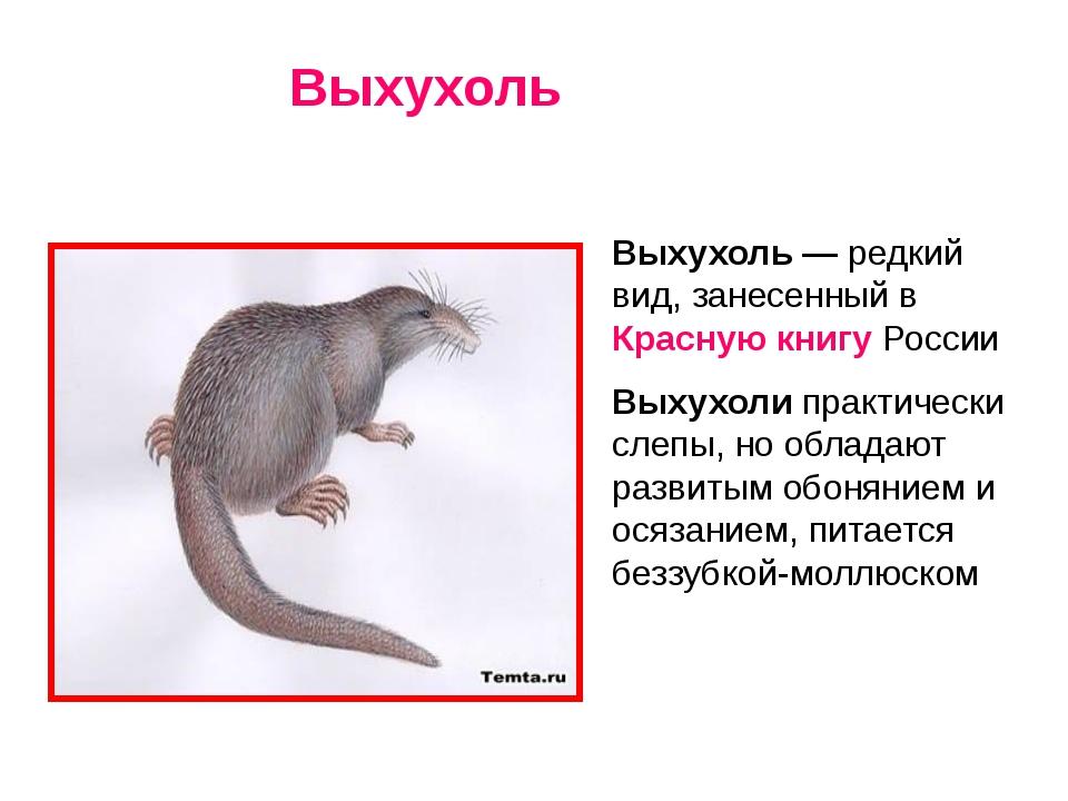 Выхухоль — редкий вид, занесенный в Красную книгу России Выхухоли практическ...