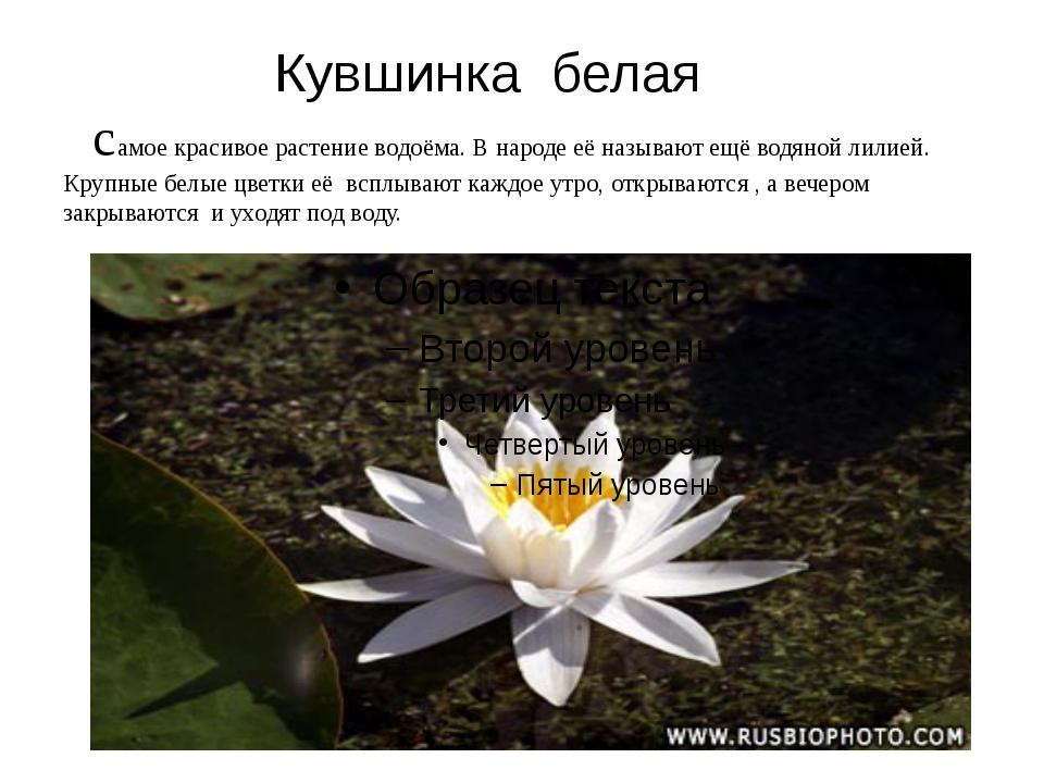 Кувшинка белая самое красивое растение водоёма. В народе её называют ещё вод...