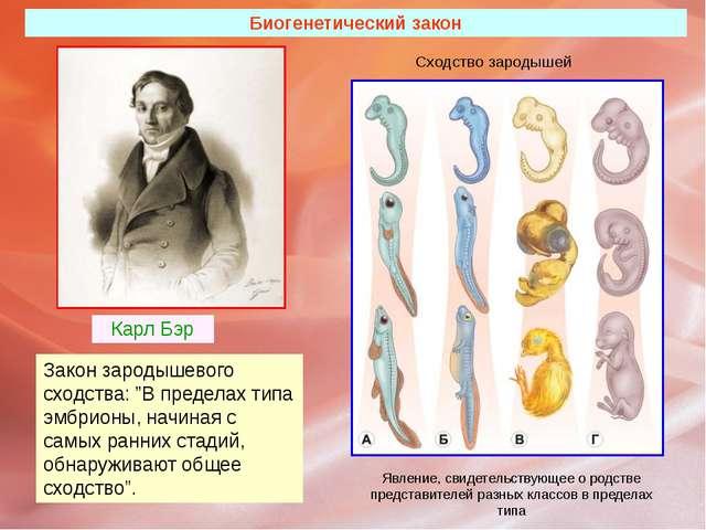 """Биогенетический закон Карл Бэр Закон зародышевого сходства: """"В пределах типа..."""