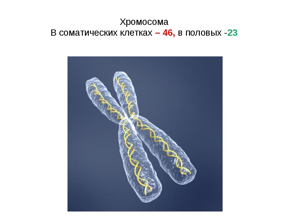 Хромосома В соматических клетках – 46, в половых -23