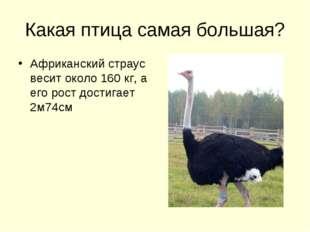 Какая птица самая большая? Африканский страус весит около 160 кг, а его рост