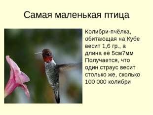 Самая маленькая птица Колибри-пчёлка, обитающая на Кубе весит 1,6 гр., а длин
