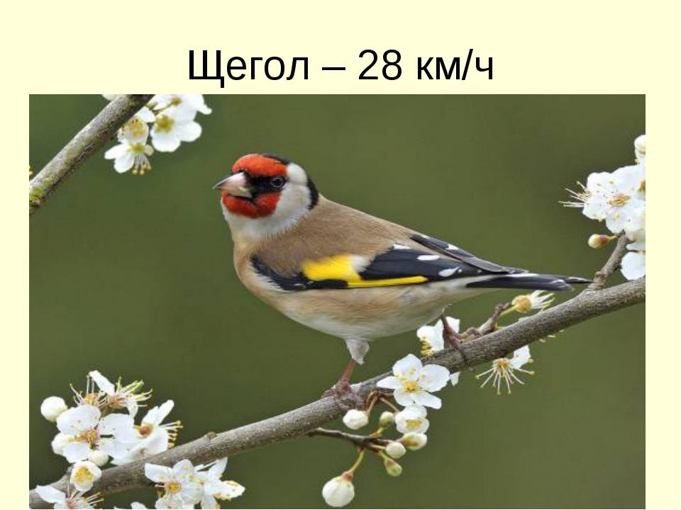 Щегол – 28 км/ч