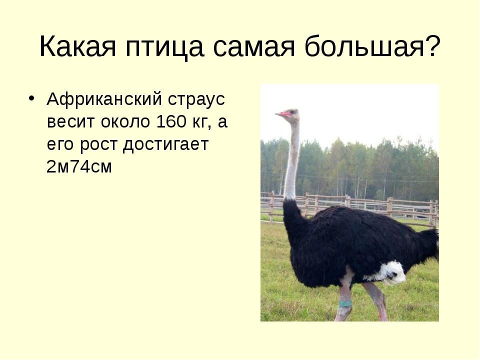 Какая птица самая большая? Африканский страус весит около 160 кг, а его рост...