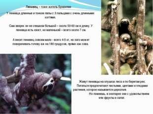 Ленивец – тоже житель Бразилии У ленивца длинные и тонкие лапы с 3 пальцами с