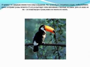 И туканы с их смешным клювом тоже живут в Бразилии. Нос тукана будто специаль