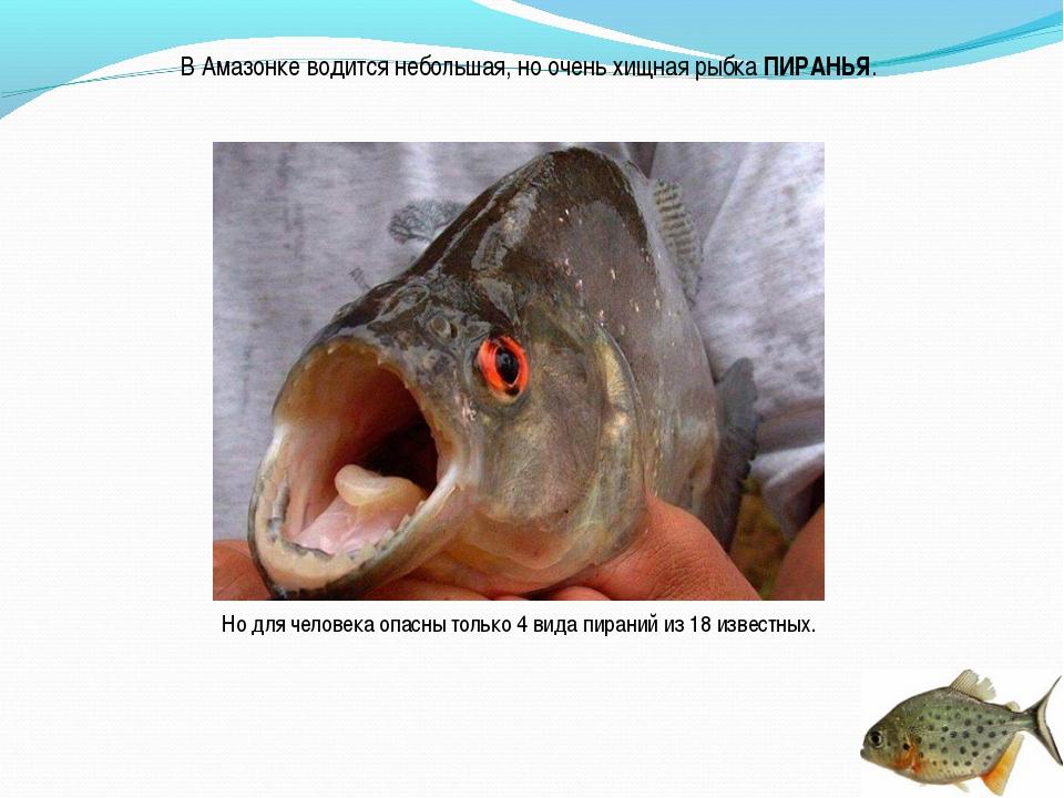 В Амазонке водится небольшая, но очень хищная рыбка ПИРАНЬЯ. Но для человека...