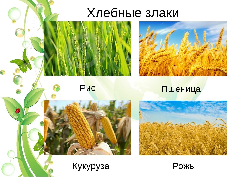 Xлебные злаки Пшеница Рис Кукуруза Рожь