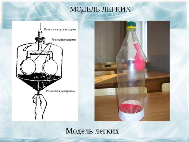 МОДЕЛЬ ЛЕГКИХ Модель легких