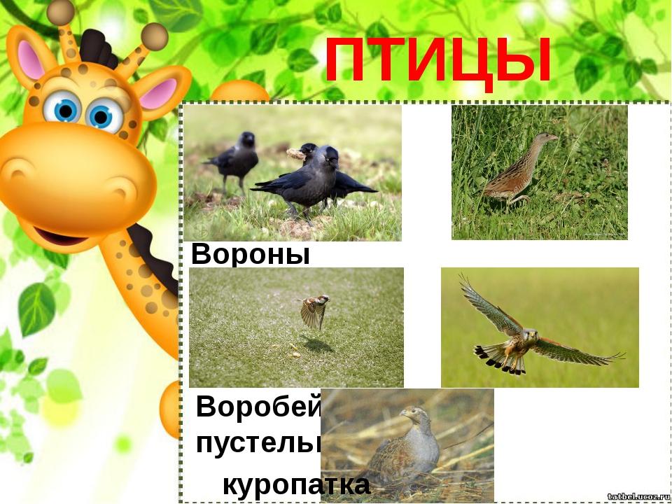 ПТИЦЫ Вороны коростель Воробей пустельга куропатка